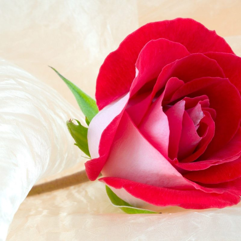 10 Most Popular Rose Flower Images Free Download Hd FULL HD 1080p For PC Background 2020 free download rose flower image free download flower images 800x800