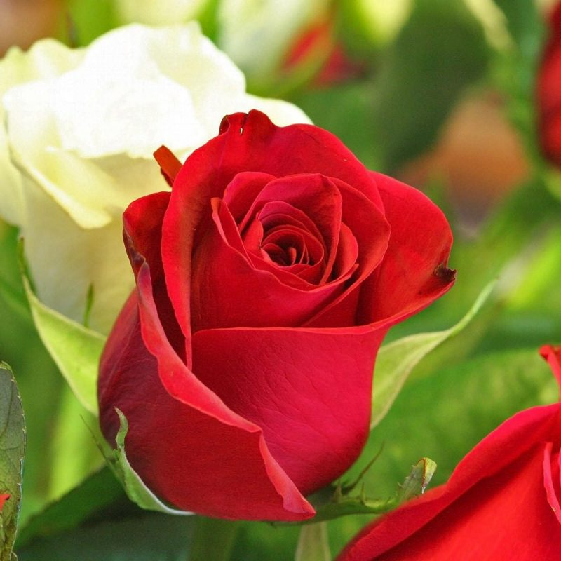 10 Most Popular Rose Flower Images Free Download Hd Full Hd 1080p
