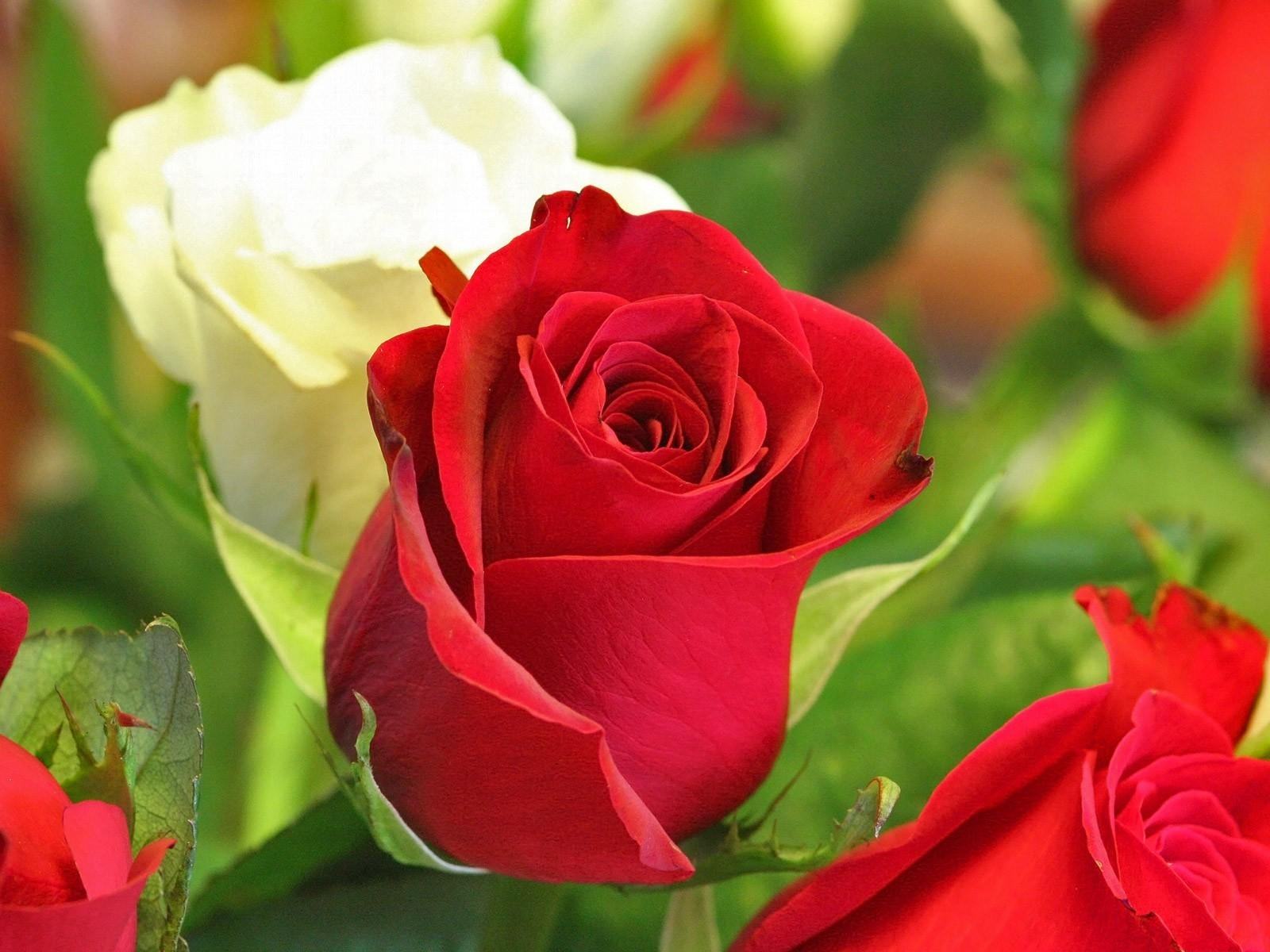 rose flower images free download hd download