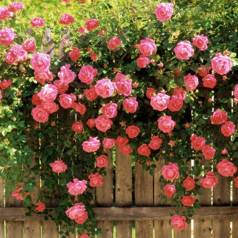 10 New Rose Wallpaper For Desktop FULL HD 1080p For PC Desktop 2018 free download rose wallpaper for desktop wallpaper bits 800x800