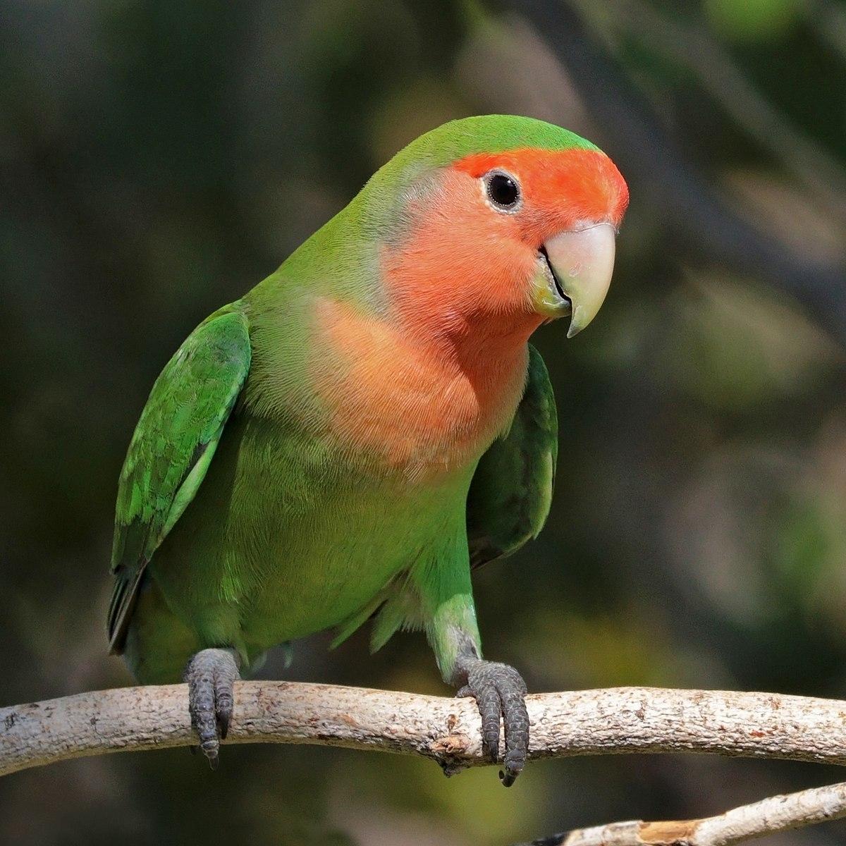 rosy-faced lovebird - wikipedia