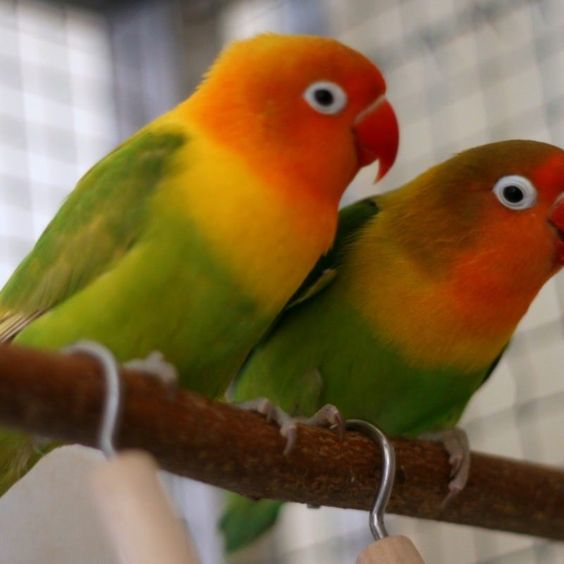 10 Top Images Of Love Bird FULL HD 1920×1080 For PC Background 2020 free download rosy faced lovebird youtube 800x800