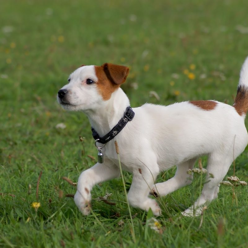 10 Most Popular Jack Russell Terrier Wallpapers FULL HD 1080p For PC Background 2020 free download running jack russell terrier photo and wallpaper beautiful running 800x800