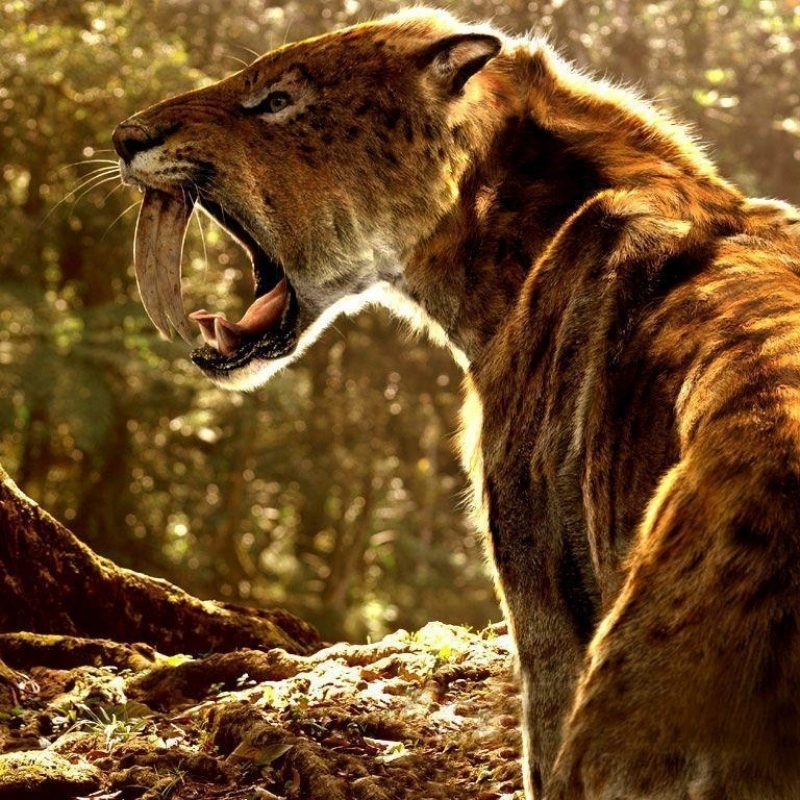 10 New Saber Tooth Tiger Wallpaper FULL HD 1080p For PC Background 2020 free download sabertooth wallpapers wallpaper cave 800x800