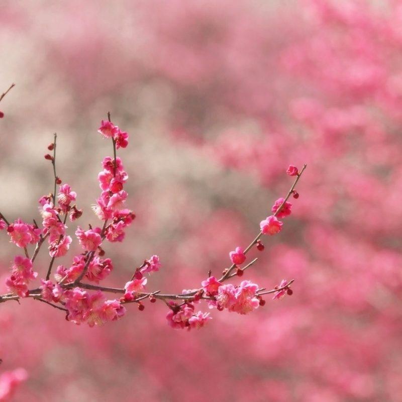 10 Most Popular Sakura Cherry Blossom Wallpaper FULL HD 1920×1080 For PC Desktop 2020 free download sakura cherry blossom e29da4 4k hd desktop wallpaper for 4k ultra hd tv 2 800x800