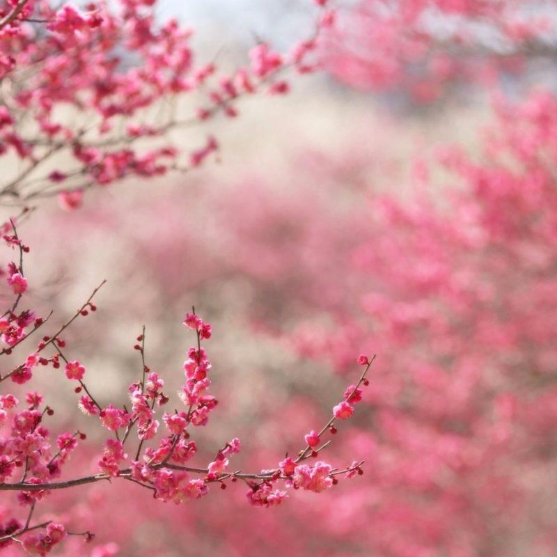 10 New Cherry Blossom Background Hd FULL HD 1920×1080 For PC Desktop 2020 free download sakura cherry blossom e29da4 4k hd desktop wallpaper for 4k ultra hd tv 5 800x800