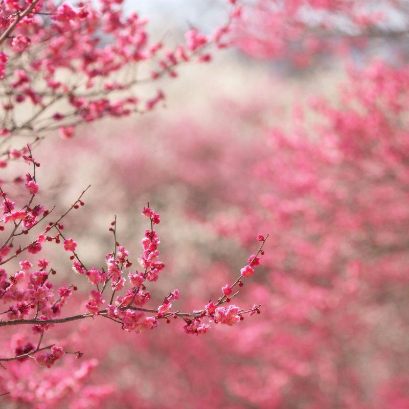 10 New Hd Wallpapers Cherry Blossom FULL HD 1080p For PC Desktop 2021 free download sakura cherry blossom e29da4 4k hd desktop wallpaper for 4k ultra hd tv 800x800