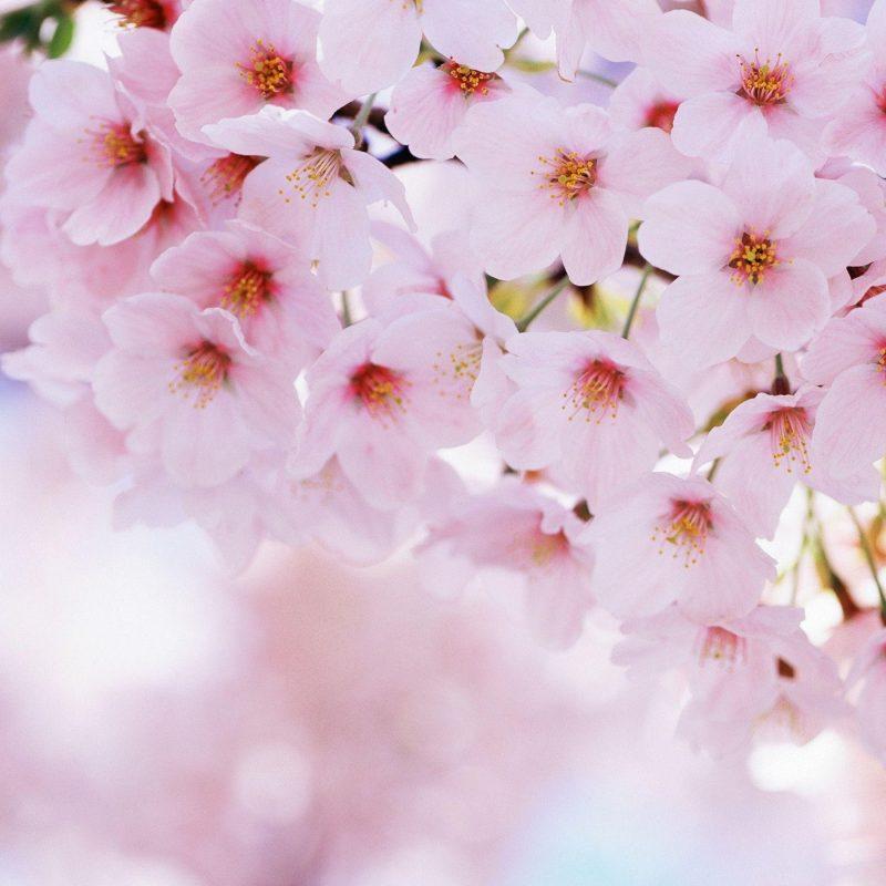10 Most Popular Sakura Cherry Blossom Wallpaper FULL HD 1920×1080 For PC Desktop 2020 free download sakura flower wallpapers wallpaper cave 800x800