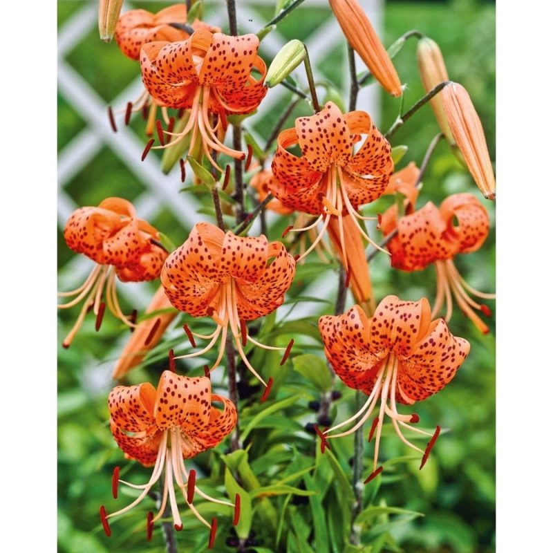 10 New Pics Of Tiger Lilies FULL HD 1920×1080 For PC Background 2018 free download shop garden state bulb 4 pack tiger lily bulbs lw00528 at lowes 800x800
