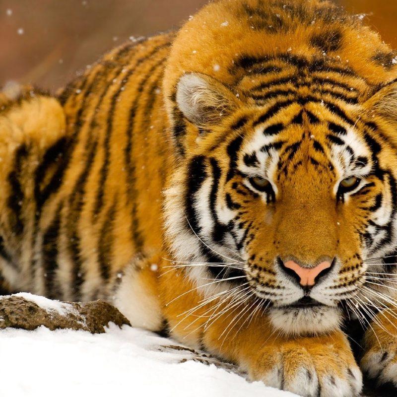 10 New Siberian Tiger Wallpaper Hd 1080P FULL HD 1080p For PC Background 2020 free download siberian tiger in snow e29da4 4k hd desktop wallpaper for 4k ultra hd tv 800x800