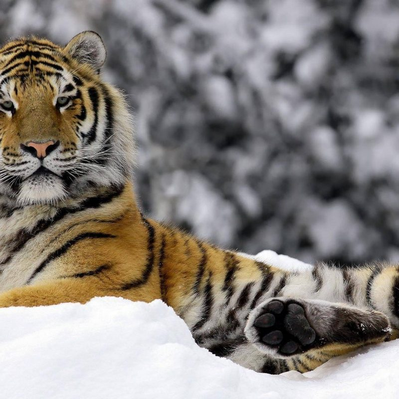 10 New Siberian Tiger Wallpaper Hd 1080P FULL HD 1080p For PC Background 2020 free download siberian tiger wallpapers wallpaper cave 800x800
