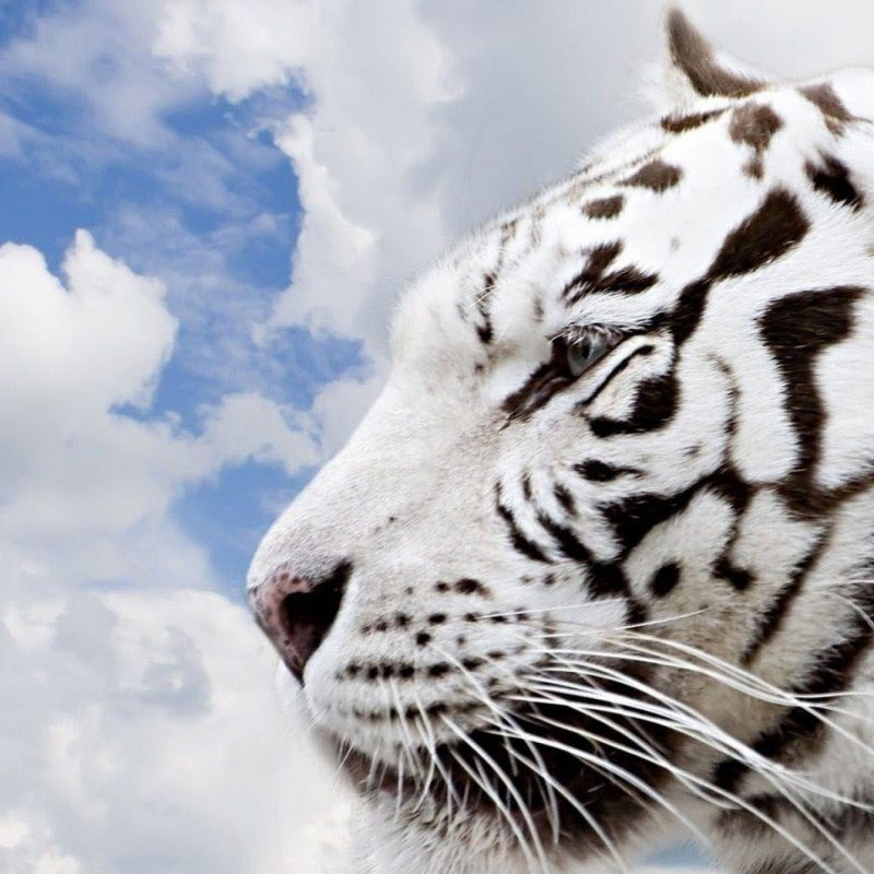 10 New Siberian Tiger Wallpaper Hd 1080P FULL HD 1080p For PC Background 2020 free download siberian tiger wallpapers wallpaper cave images wallpapers 800x800