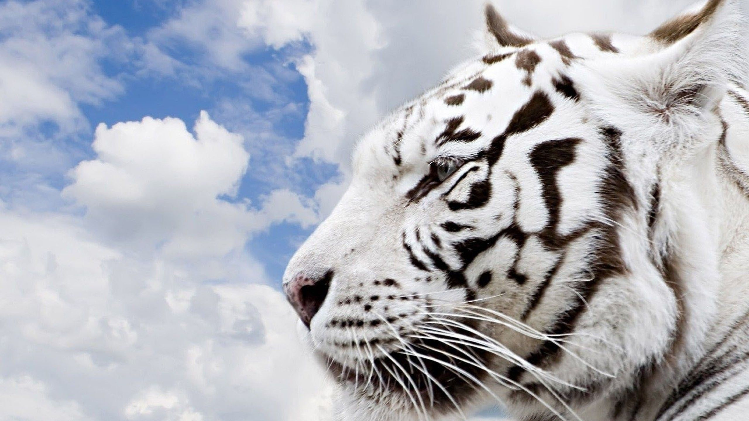 siberian tiger wallpapers - wallpaper cave | images wallpapers