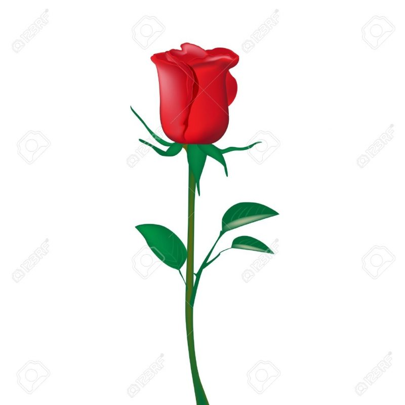 10 Top Single Red Rose Pictures FULL HD 1080p For PC Desktop 2018 free download single red rose isolated on white royalty free cliparts vectors 1 800x800