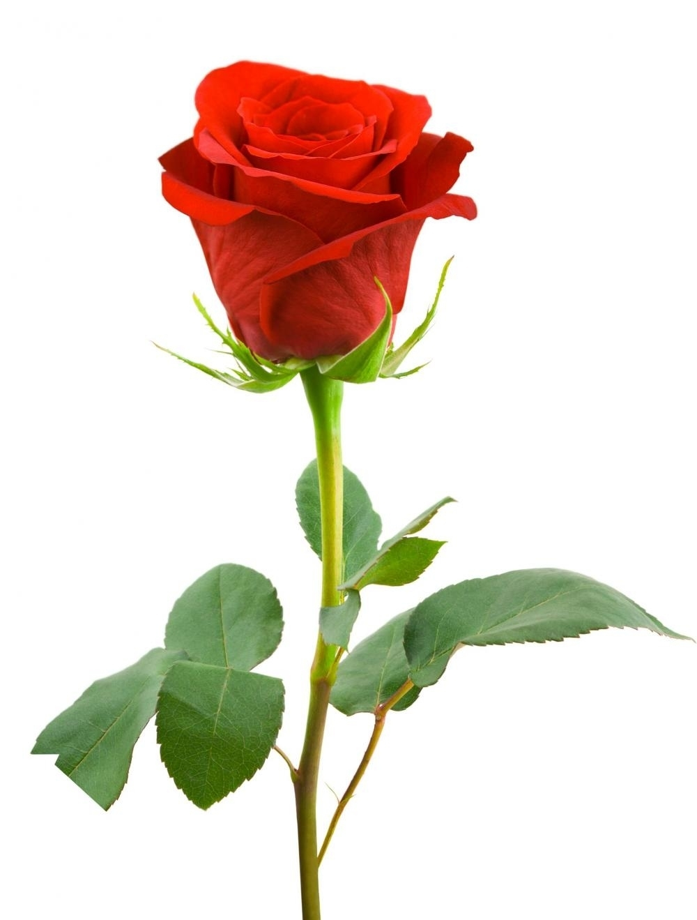 single red rose long-stem delivery