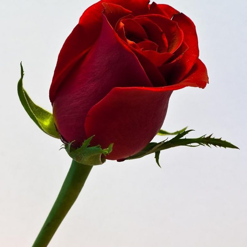 10 Top Single Red Rose Pictures FULL HD 1080p For PC Desktop 2020 free download single red rose nikonites gallery 1 800x800