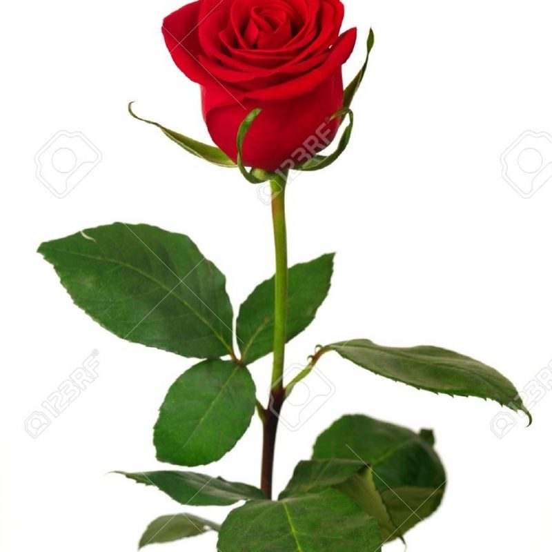 10 Top Single Red Rose Pictures FULL HD 1080p For PC Desktop 2020 free download single red rose on a white background stock photo picture and 1 800x800