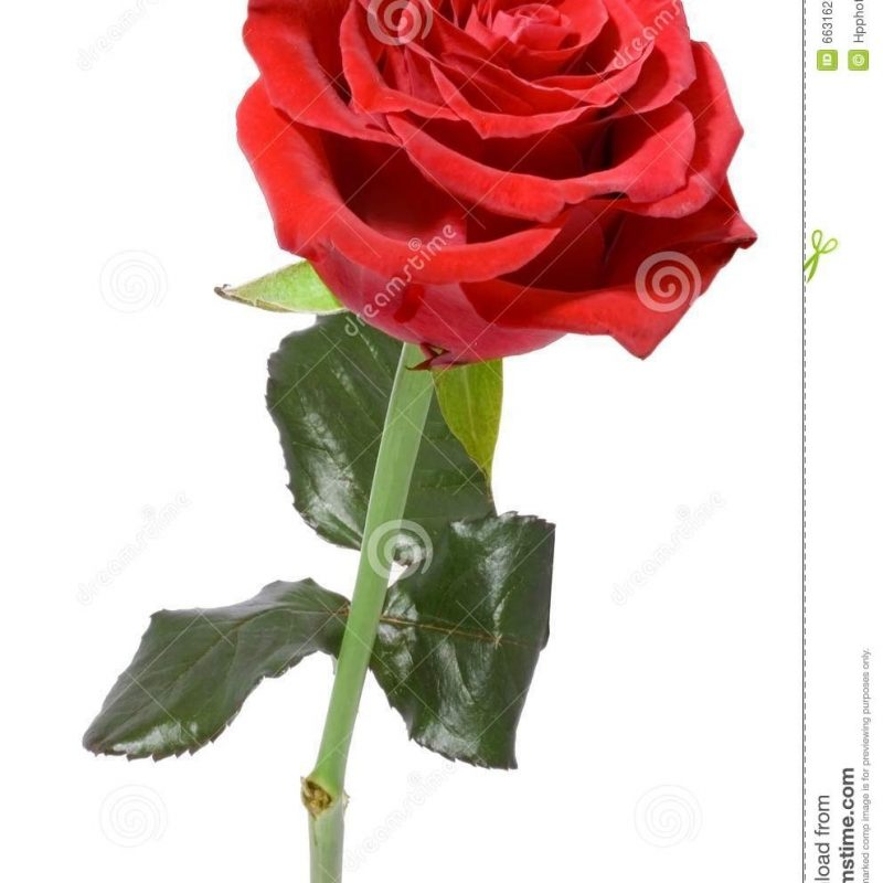 10 Top Single Red Rose Pictures FULL HD 1080p For PC Desktop 2020 free download single red rose stock photo image of decorative flora 6631628 1 800x800