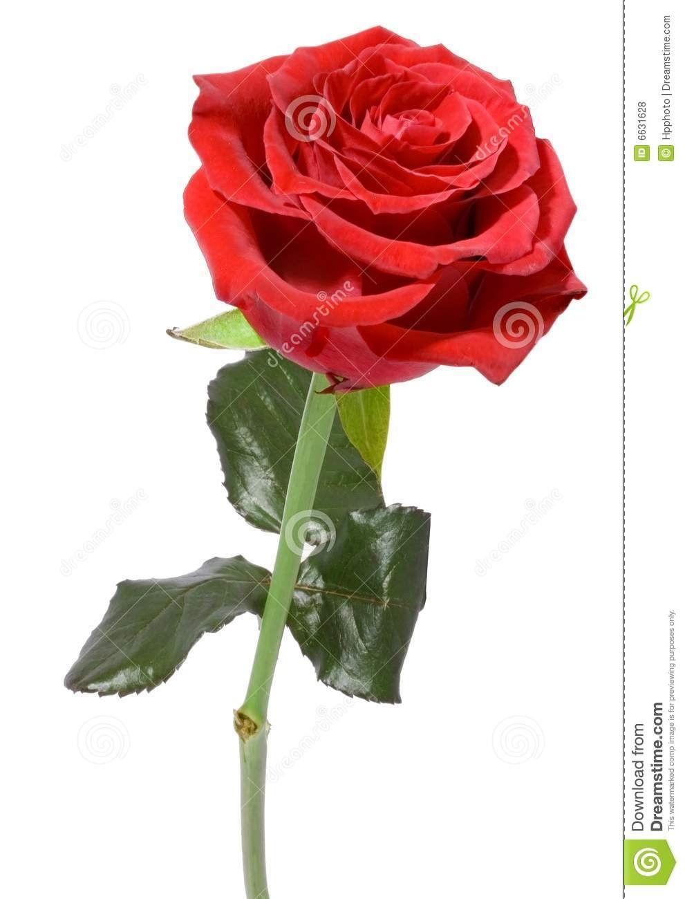 single red rose stock photo. image of decorative, flora - 6631628