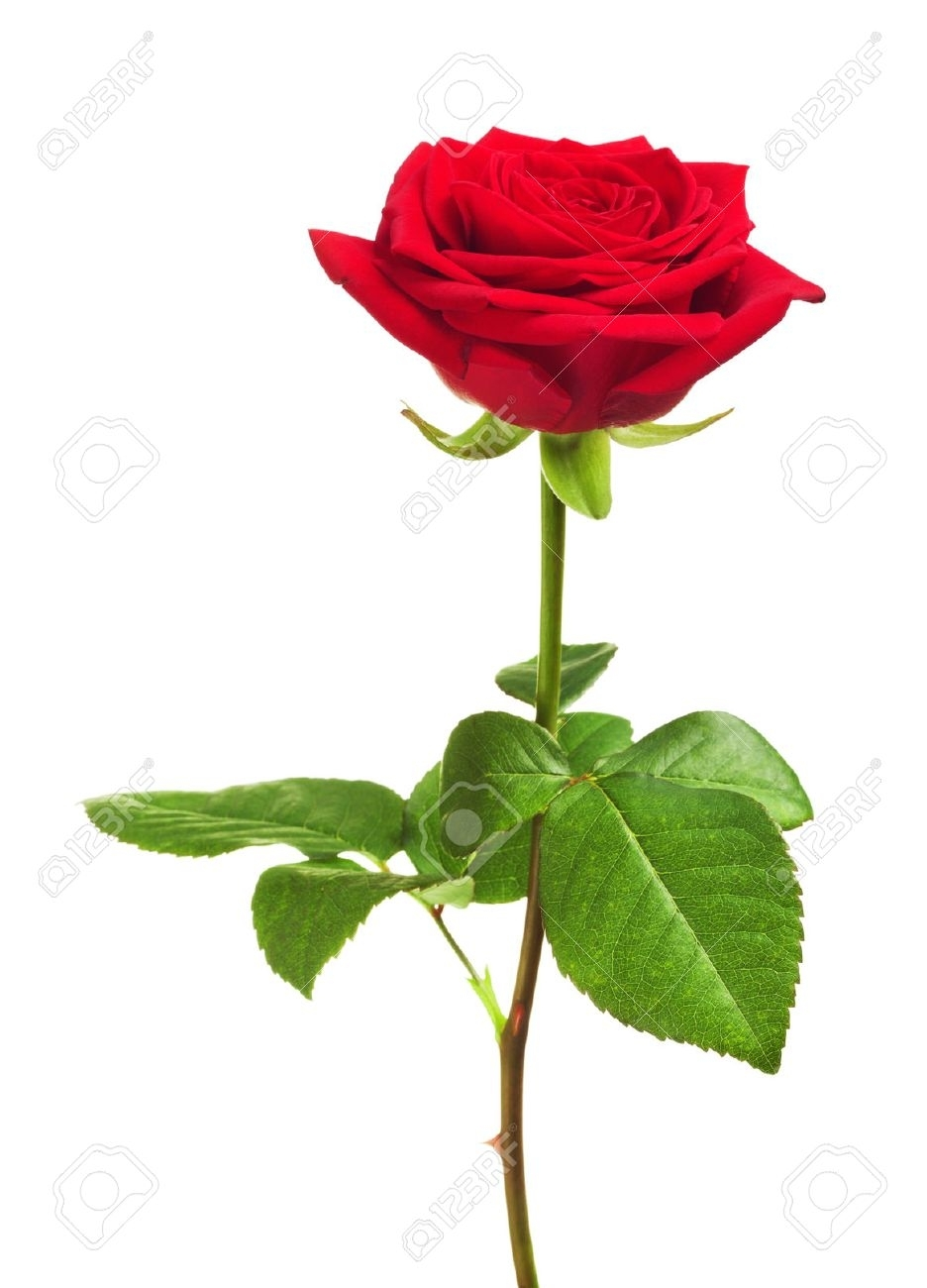 single red rose stock photos. royalty free business images