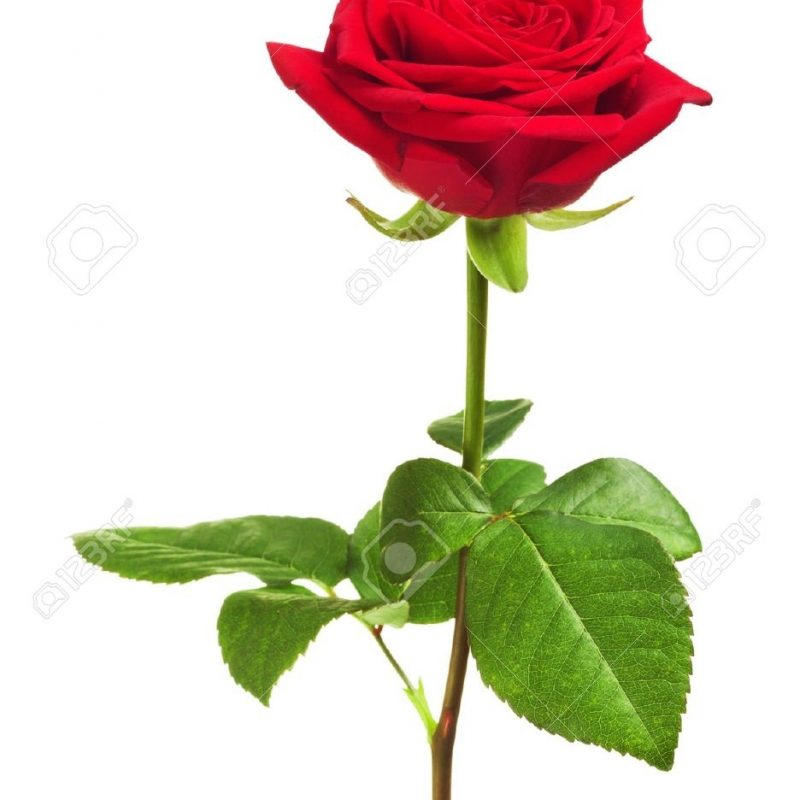 10 Top Single Red Rose Pictures FULL HD 1080p For PC Desktop 2020 free download single red rose stock photos royalty free single red rose images 1 800x800
