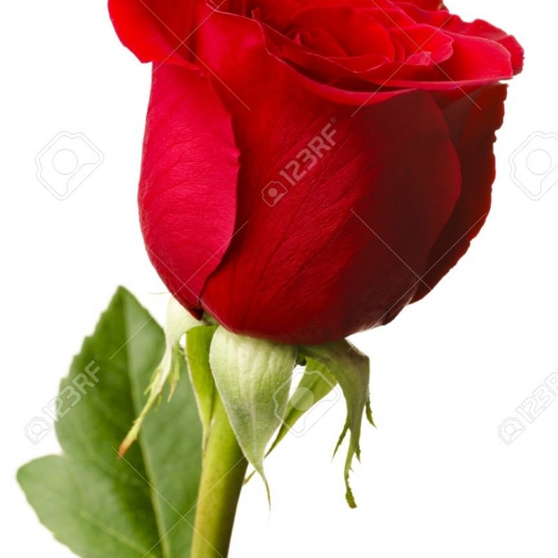 10 Top Single Red Rose Pictures FULL HD 1080p For PC Desktop 2018 free download single red rose stock photos royalty free single red rose images 800x800