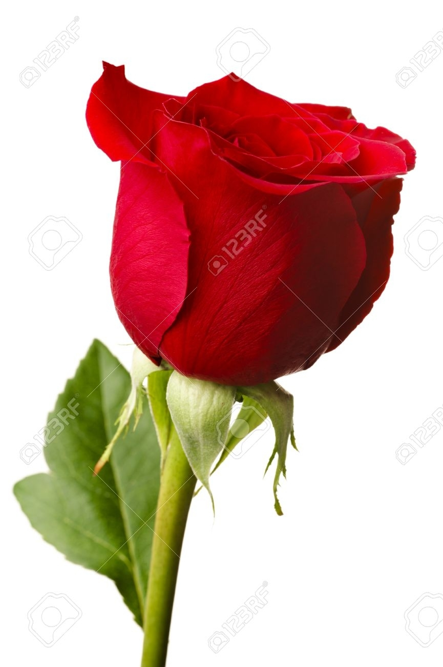 single red rose stock photos. royalty free single red rose images