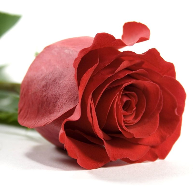 10 Most Popular Single Red Roses Images Full Hd 1080p For Pc