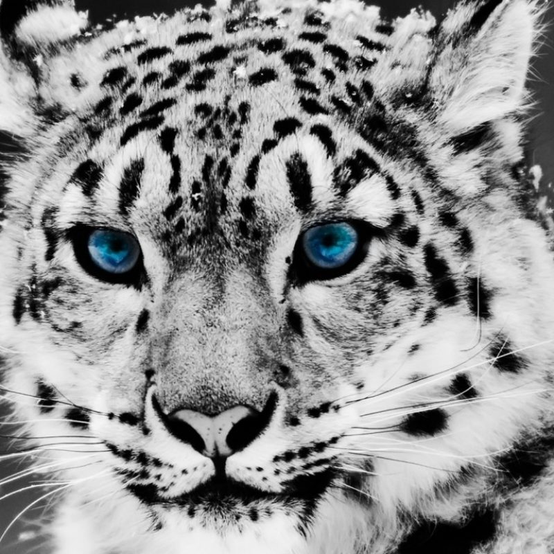 10 Best Black And White Leopard Wallpaper FULL HD 1920×1080 For PC Desktop 2020 free download snow leopard black and white portrait e29da4 4k hd desktop wallpaper 800x800