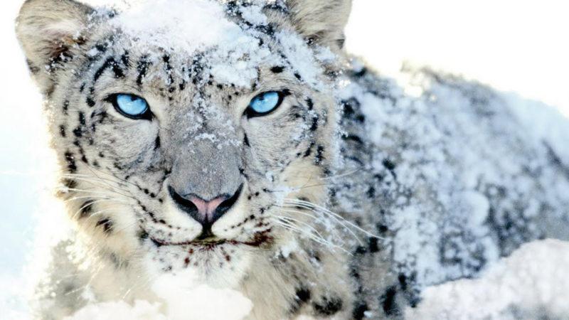 10 Latest Snow Leopard Wallpaper Mac FULL HD 1920×1080 For PC Desktop 2021 free download snow leopard wallpaper sf wallpaper 800x450