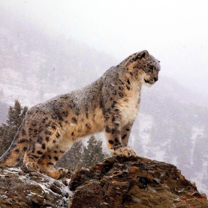 10 Top Mac Snow Leopard Wallpapers FULL HD 1920×1080 For PC Desktop 2020 free download snow leopard wallpapers wallpaper cave 800x800