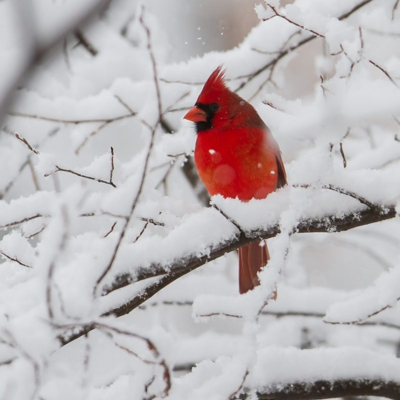 10 New Cardinal In Snow Pictures FULL HD 1080p For PC Desktop 2021 free download snow storm roads end naturalist 800x800