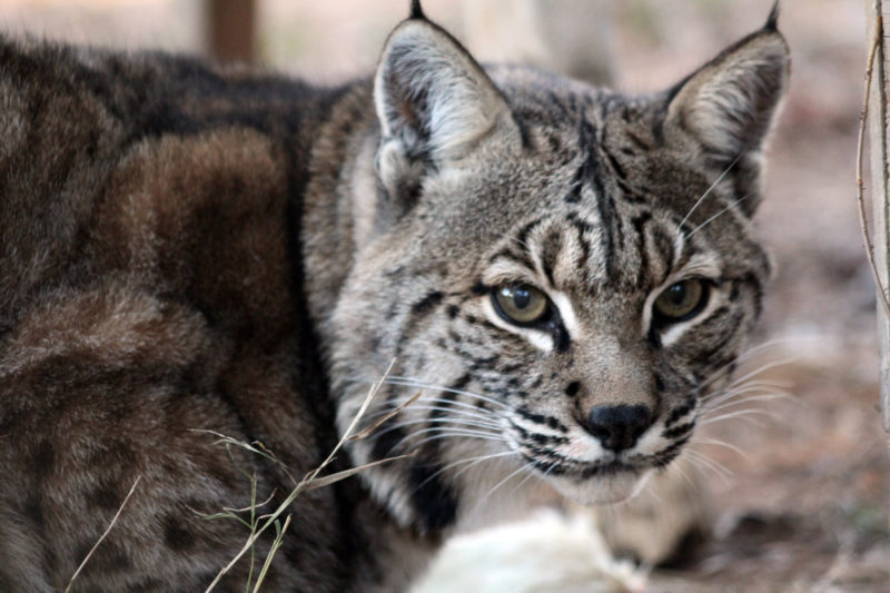 10 New Image Of Bobcat FULL HD 1080p For PC Desktop 2021 free download talon bobcat carolina tiger rescue 800x533