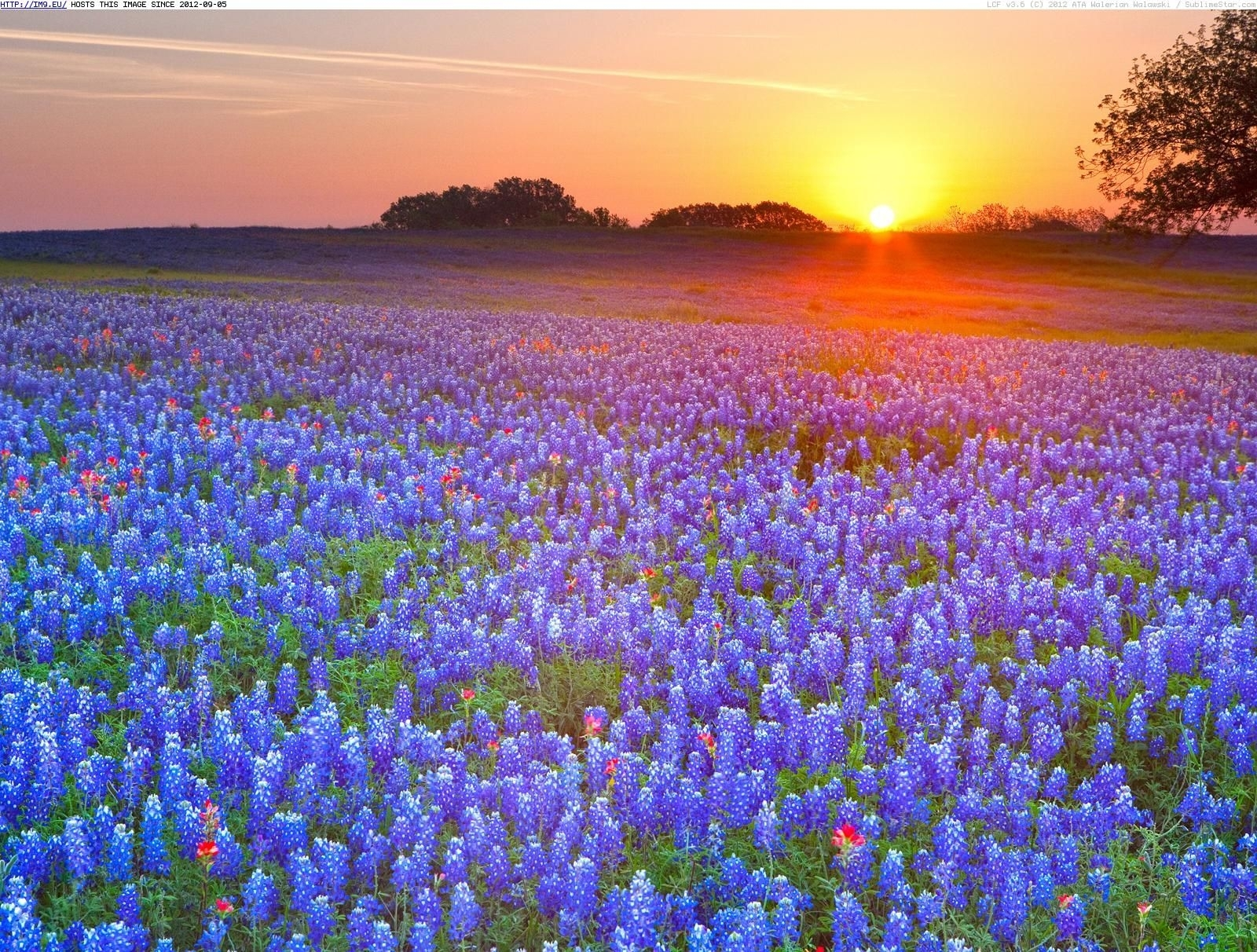 texas bluebonnets texas hill country texas - your hd wallpaper