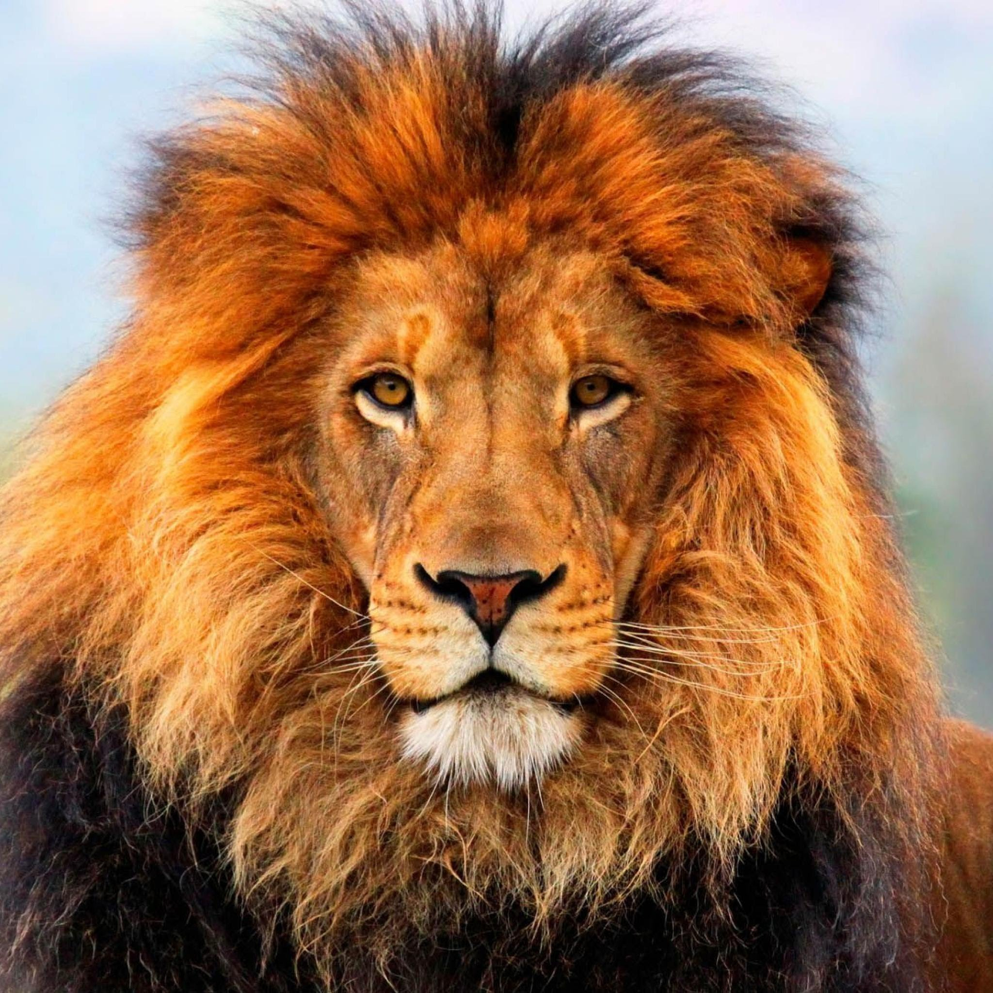 the asiatic lion once lived in armenia - history of armenia