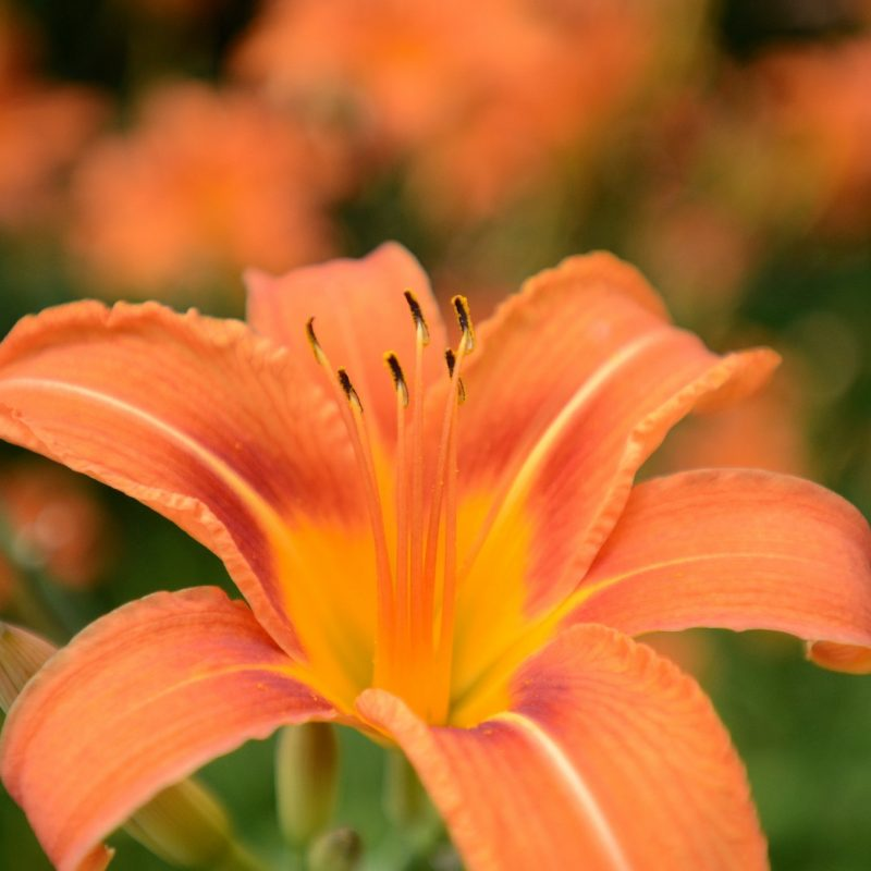 10 Latest Images Of Tiger Lily FULL HD 1920×1080 For PC Desktop 2021 free download the tiger lily a problem solver as our official flower syracuse 1 800x800