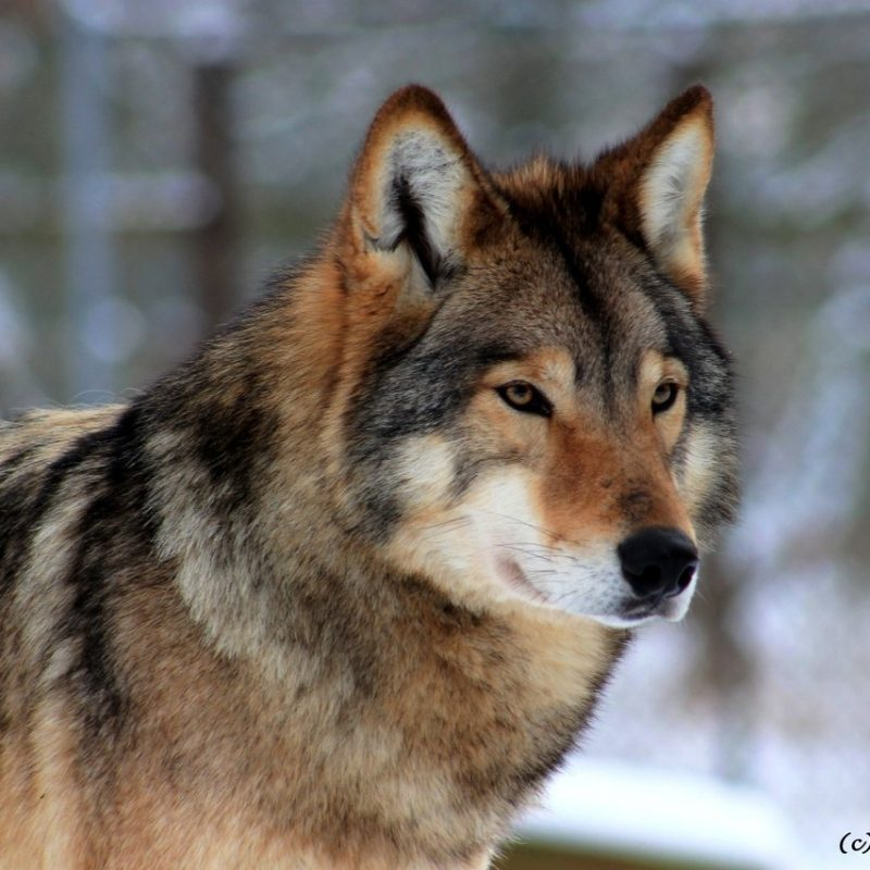 10 Most Popular Pictures Of A Timber Wolf FULL HD 1080p For PC Desktop 2018 free download the timber wolf animals en mammal predator science timber tp 800x800