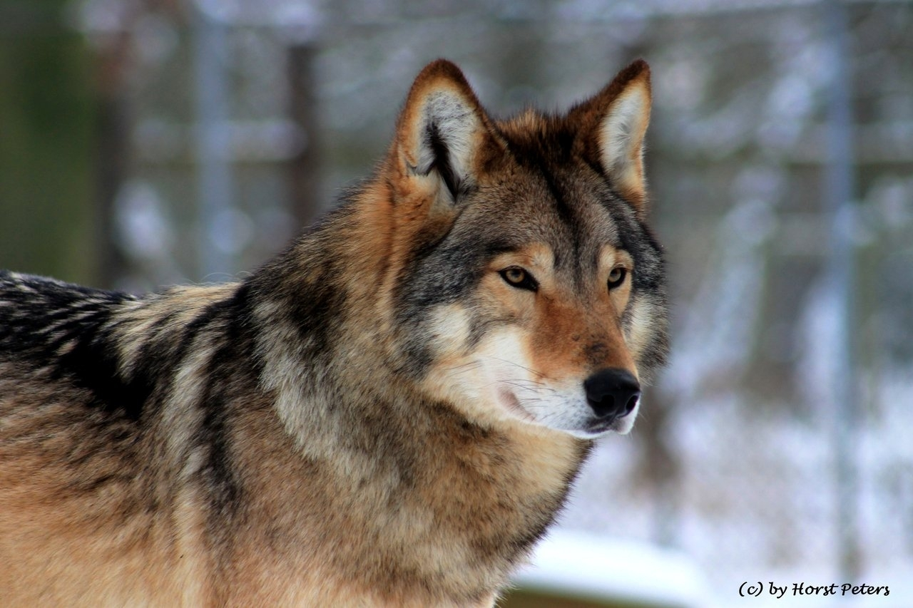 the timber wolf: animals, en, mammal, predator, science, timber, tp