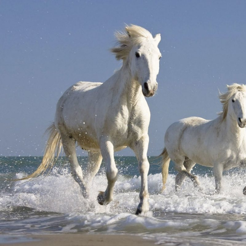 10 Latest Pictures Of White Horses Running FULL HD 1920×1080 For PC Background 2018 free download the white horse is situated on a slight bend in the main road that 800x800