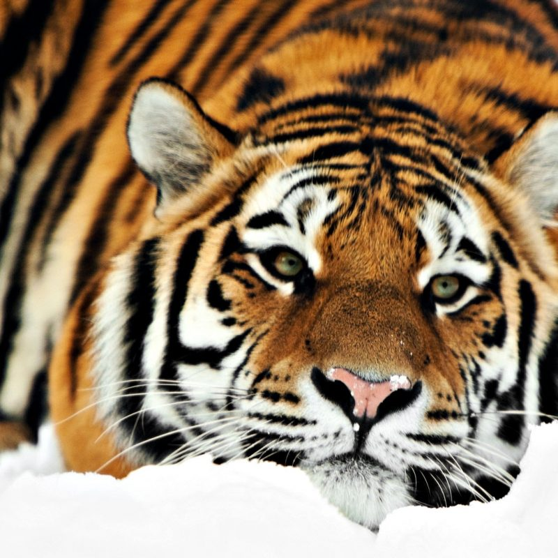 10 New Siberian Tiger Wallpaper Hd 1080P FULL HD 1080p For PC Background 2020 free download tiger hd 1080p wallpapers hd wallpapers id 8701 800x800