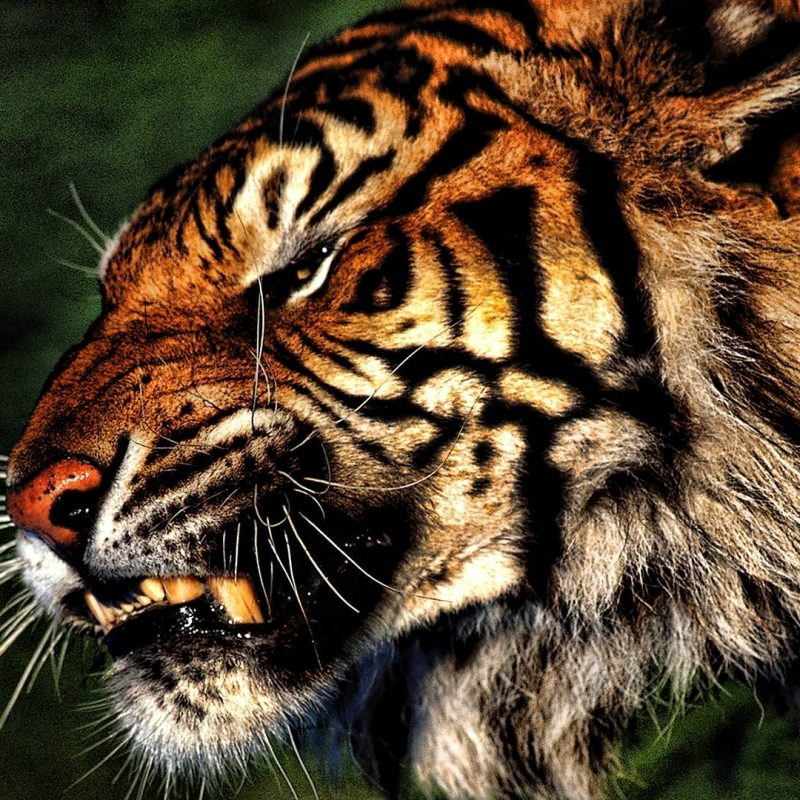 10 New Angry Tiger Wallpaper Hd 1080P FULL HD 1920×1080 For PC Desktop 2018 free download tiger hd wallpapers wallpaper cave 800x800