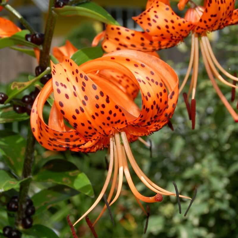 10 Most Popular Pictures Of Tiger Lilies FULL HD 1080p For PC Desktop 2018 free download tiger lily plants gorgeous but aggressive spreaders 1 800x800