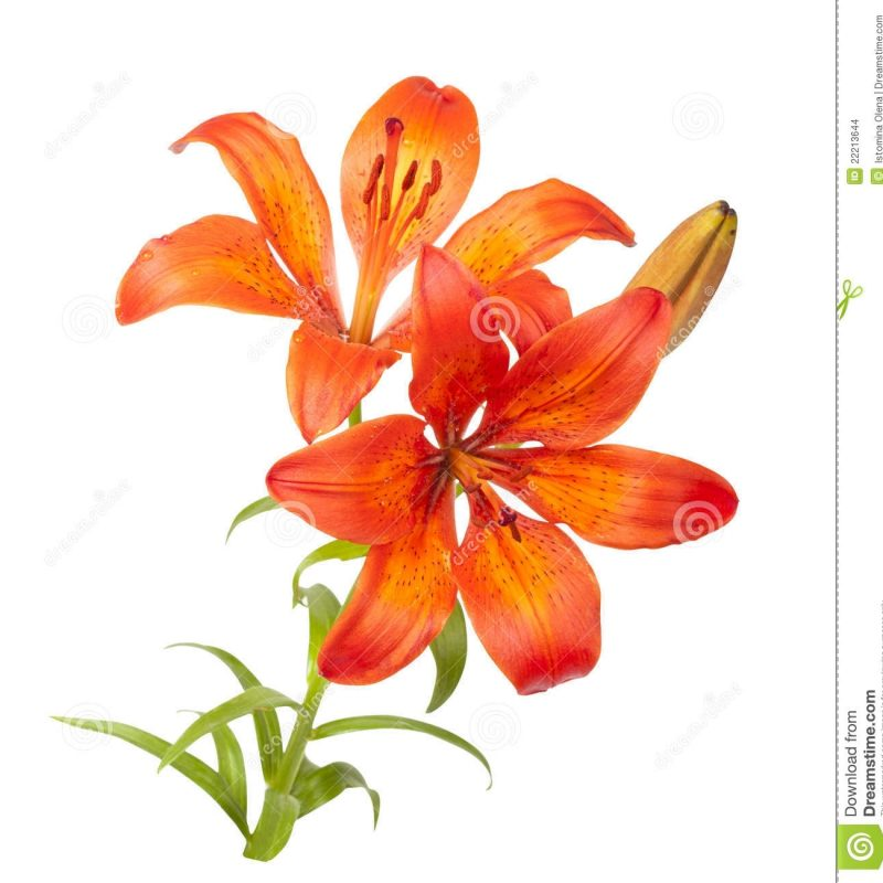 10 Latest Images Of Tiger Lily FULL HD 1920×1080 For PC Desktop 2021 free download tiger lily stock photo image of pistil elegance stamen 22213644 800x800