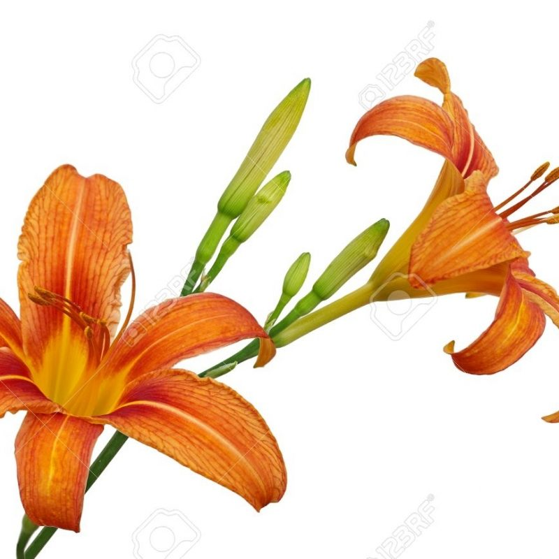 10 Latest Images Of Tiger Lily FULL HD 1920×1080 For PC Desktop 2021 free download tiger lily stock photos royalty free tiger lily images 3 800x800