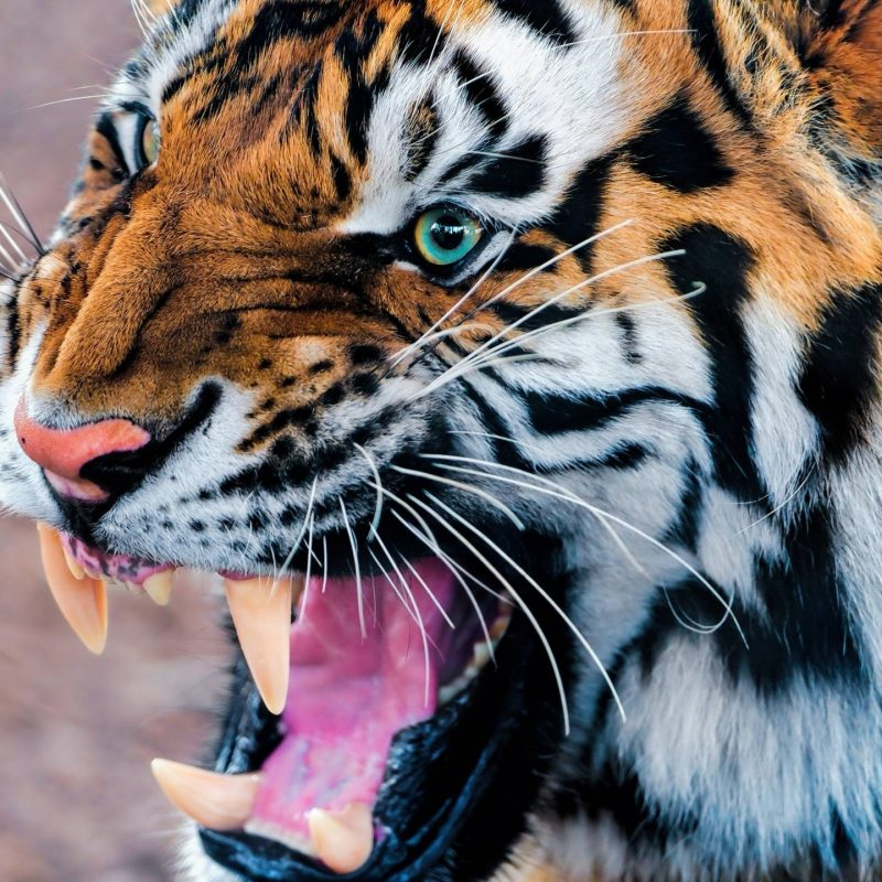 10 New Angry Tiger Wallpaper Hd 1080P FULL HD 1920×1080 For PC Desktop 2018 free download tiger wallpaper 800x800