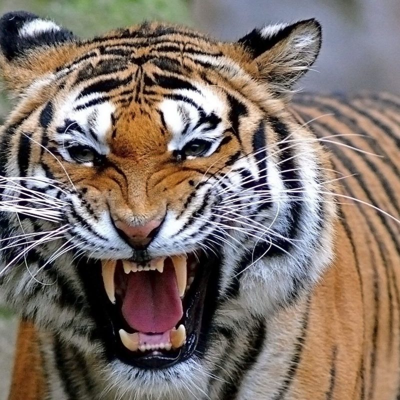 10 New Angry Tiger Wallpaper Hd 1080P FULL HD 1920×1080 For PC Desktop 2018 free download tiger wallpapers hd download group 89 800x800