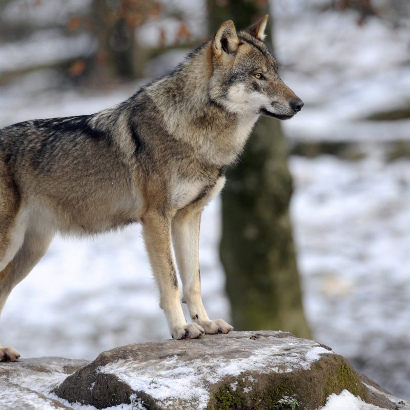 10 Most Popular Pictures Of A Timber Wolf FULL HD 1080p For PC Desktop 2018 free download timber wolf found dead along road near morris ill cbs chicago 800x800