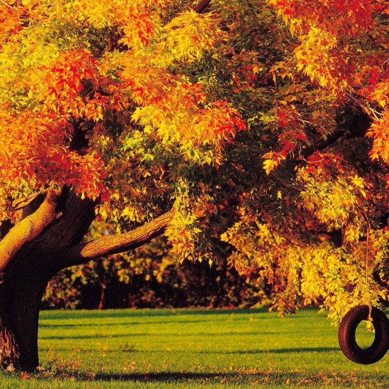 10 Top Fall Trees Desktop Backgrounds FULL HD 1080p For PC Background 2021 free download tire swing under the autumn tree wallpaper hd wallpapers 800x800