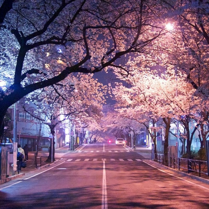 10 Latest Cherry Blossom Wallpaper Iphone FULL HD 1920×1080 For PC Desktop 2020 free download tokyo cherry blossom the iphone wallpapers 800x800
