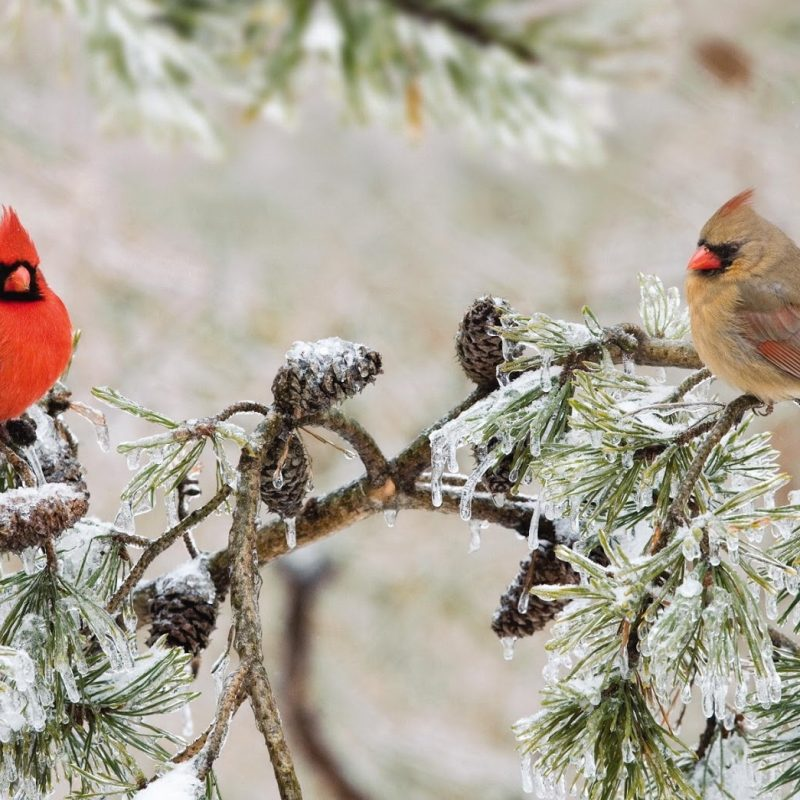 10 New Cardinal In Snow Pictures FULL HD 1080p For PC Desktop 2021 free download top 67 cardinal wallpaper hd animal spot 800x800